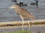 juvenile Black-crowned Night-Heron - photo by Phil Swanson