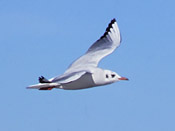 Black-headed Gull flying - photo by Phil Swanson