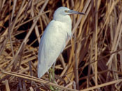 Little Blue Heron - photo by Phil Swanson