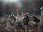 juvenile Sandhill Crane - photo by NEBRASKAland Magazine/Nebraska Game and Parks Commission