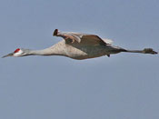 Sandhill Crane - photo by Phil Swanson