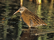 Virginia Rail - photo by Phil Swanson