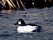 Common Goldeneye - NEBRASKAland Magazine/Nebraska Game and Parks Commission