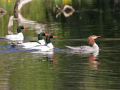 female Common Merganser - photo by Phil Swanson