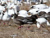 Snow Goose blue morph - photo by Phil Swanson