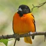 songbirds_baltimore-oriole