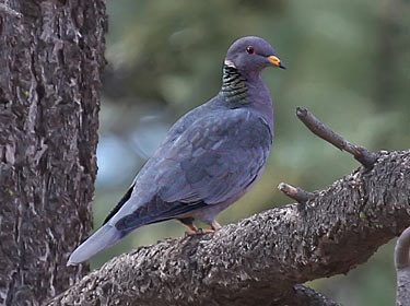 Band-tailed Pigeon - Phil Swanson photo