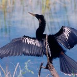 Anhinga - photo by Phil Swanson