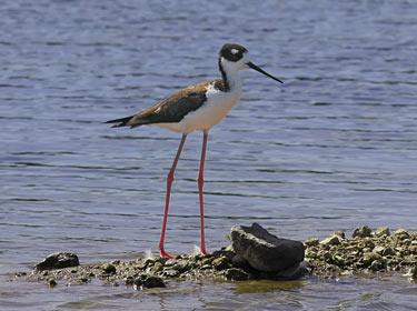 Black-necked Stilt - photo by Phil Swanson