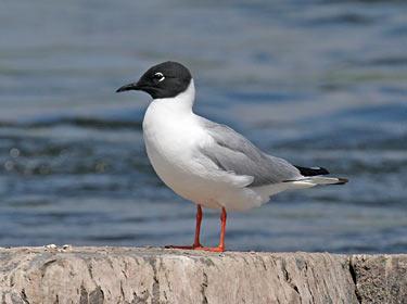 Bonaparte's Gull - photo by Phil Swanson