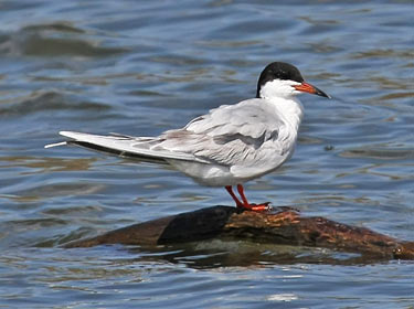 Forester's Tern