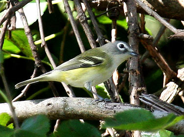 Blue-headed Vireo - photo by Phil Swanson