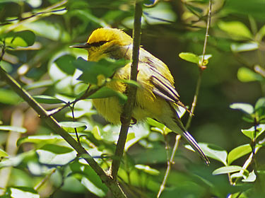 Blue-winged Warbler - photo by Phil Swanson