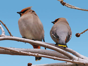 Bohemian Waxwing - photo by Phil Swanson