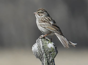 Brewer's Sparrow - photo by Phil Swanson