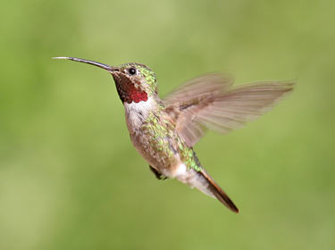 Broad-tailed Hummingbird - photo by Phil Swanson