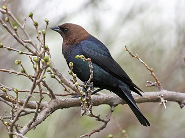 Brown-headed Cowbird - photo by Phil Swanson