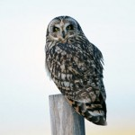 Short-eared Owl