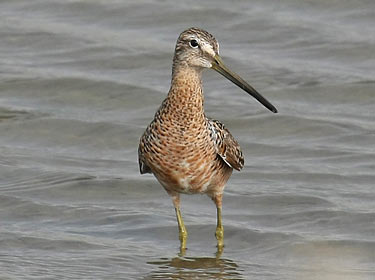 Long-billed Dowicher